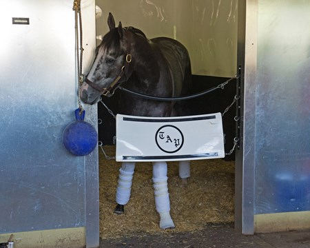 Tapwrit in his stall morning after Belmont. Foot wrapped due to superficial nick on left front. Tapwrit and other contenders the morning after the Belmont Stakes Presented by NYRA Bets (G1) at Belmont Park  on June 11, 2017 in Elmont, New York.