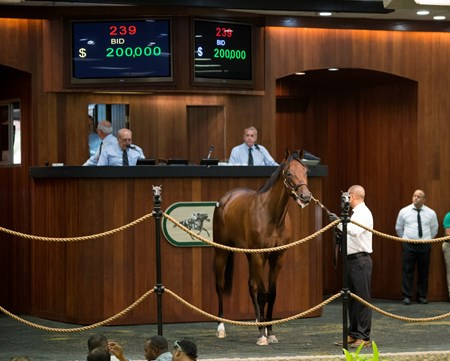 OBS June 2017 Hip 239 Quality Road - Pirate Queen  sold $200,000  @ OBS  in Ocala Fl, June 12 2017