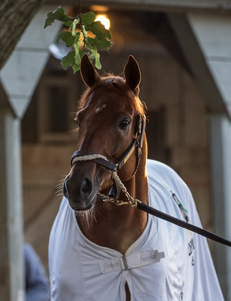 Gun Runner, an expected entrant in the Whitney Stakes takes in the sights at the Oklahoma Training Center after  his final work in preparation for the Grade 1 Whitney Stakes Sunday July 30, 2017 at the Saratoga Race Course  in Saratoga Springs, N.Y.