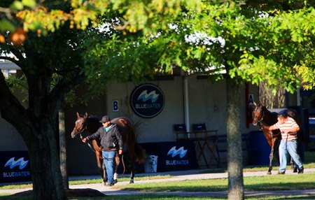 Yearlings walk in front of the Bluewater Sales consignment area