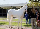 Blizzard Condition, Hip 31, is a white Get Stormy colt owned and bred by Denise Purvis and consigned by Brandywine