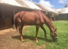Salientito, one of eight horses who have started quarantine to go back to the mainland