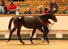 Lot 463, a Farhh colt, who topped the sale Nov. 29 when selling for 160,000 guineas