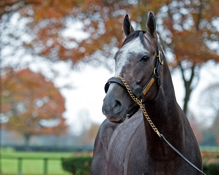 Arrogate at Juddmonte Farms. Sales horses and people at Keeneland November Sales Nov. 16, 2017 Juddmonte in Lexington, KY.