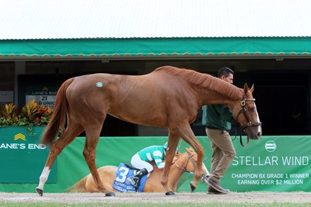 Champion Stellar Wind is among the grade 1 winners consigned to the Keeneland November sale