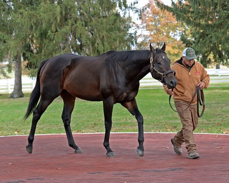 Bal a Bali at Calumet Newly retired stallions for the 2018 breeding season at Central Kentucky farms Nov. 11, 2017  in Lexington, KY.