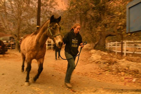 Horses are evacuated in Ventura County as the Thomas Fire approaches.