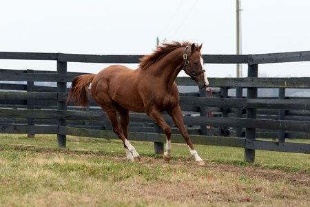 California Chrome stands at Taylor Made Farm