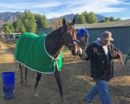 Bolt d'Oro cooling out after his morning work. Jan. 27, 2018 Santa Anita in Arcadia, California.
