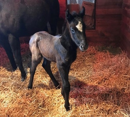A gray colt out of Black Coronas is the first reported foal by Gainesway's Anchor Down. The foal was bred by Chad Frederick and Phoenix Farm and Racing and born at Phoenix Farm near Georgetown, Ky.