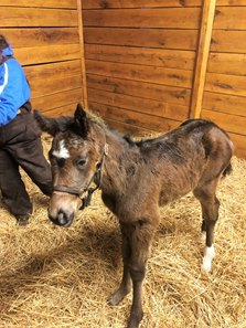 Tamarkuz--Aly Baran filly is the first reported foal for the Shadwell stallion. Filly was born Jan. 20 at Richie Donworth's Scarteen Stud