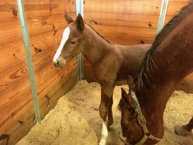 first foal a filly for texas bling bloodhorse