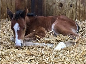 First reported foal by Spendthrift Farm's Hit It a Bomb was born Jan. 17