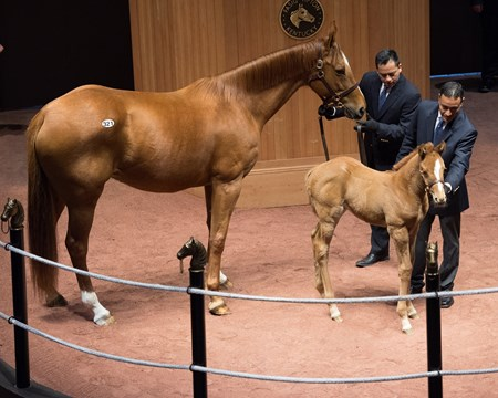 Hip 321 Money My Honey with Nyquist foal/filly Horse scenes at the Fasig-Tipton Kentucky February winter mixed sale Feb. 6, 2018 Fasig-Tipton in Lexington, Kentucky.
