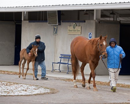Hip 321 Money My Honey with 2018 Nyquist filly from Hunter Valley consignment. Horse scenes at the Fasig-Tipton Kentucky February winter mixed sale Feb. 3, 2018 Fasig-Tipton in Lexington, Kentucky.