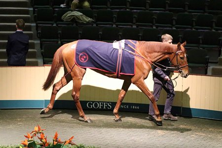 Glamorous Approach in the ring at the Goffs February sale