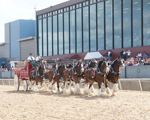 The Budweiser Clydesdale team gives the crowd a show at Oaklawn Park
