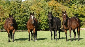 Hasili and her group 1-winning daughters. Shown left to right are Banks Hill, Hasili, Heat Haze, and Intercontinental