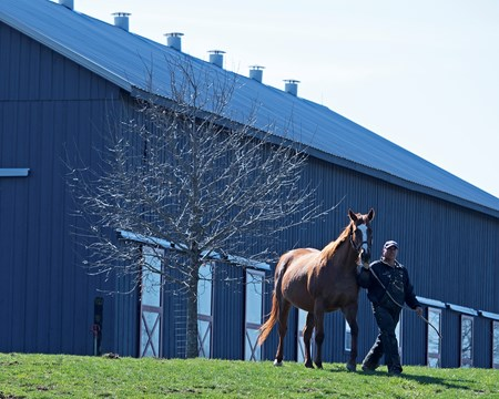 Stage Magic, i/f to Pioneerof the Nile and going to Quality Road in 2018. Horses and scenes at John Gunther's Glennwood Farm Feb. 27, 2018 Glennwood Farm in Versailles, Kentucky.