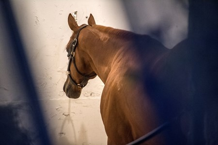 Kentucky Derby winner Justify relaxes in his stall in the Stakes Barn at Pimlico Race Course in preparation for Saturday's Preakness Stakes Thursday May 17, 2018 in Baltimore, MD