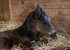 The first foal by Mo Town is a colt out of Dark Dolores born Jan. 14 in New York