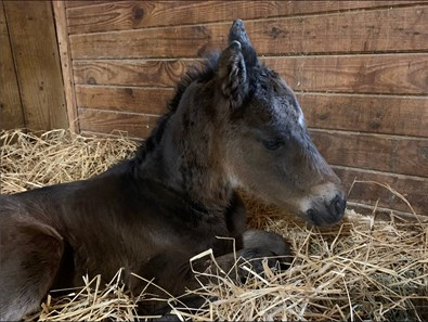 First foal by Mo Town out of Dark Dolores that foaled at Stonegate Stables in New York Jan. 14