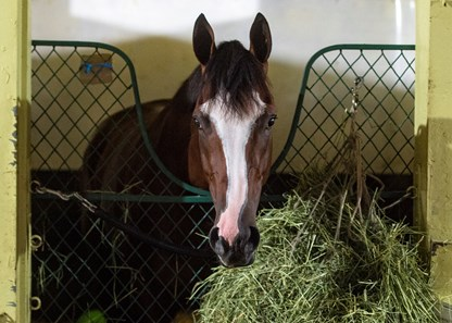 Sackatoga Stable's Tiz The Law, trained by Barclay Tagg, the 2020 Belmont Stakes, (GR I), winner, the morning after his win, Sunday, June 21,. 2020, as he eats his hay