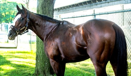 Sackatoga Stable's Tiz The Law, trained by Barclay Tagg, the 2020 Belmont Stakes, (GR I), winner, the morning after his win, Sunday, June 21,. 2020, out to graze after bath