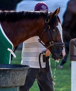 Tiz the Law gets a mouthful of water after a breeze on the main track with exercise rider Heather Smullen Saturday July 25, 2020 at the Saratoga Race Course in Saratoga Springs, N.Y.