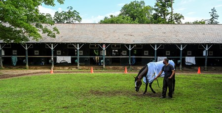 Travers Stakes presented by Runhappy  Tiz the Law enjoys his day off as he grazes in the barn area at the Saratoga Race Course Sunday Aug.9, 2020 in Saratoga Springs, N.Y.  Photo by Skip Dickstein