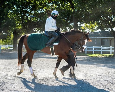 Elmont, NY-Sackatoga Stable's Tiz the Law , led by Juan Barajas Saldana, walks back to the barn after galloping over Belmont Park's main track, after the break, with Robin Smullen in the irons, Saturday, Sept. 19, 2020